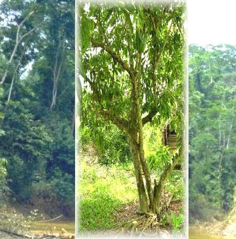 Graviola Tree.jpg (22.39 KB)